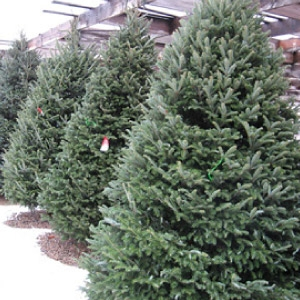 $10.00 Off Coupon for Fresh Cut Trees 6' or Larger