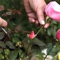 Proper Pruning of Roses