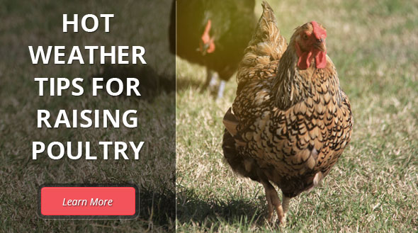 Hot Weather Tips for Poultry