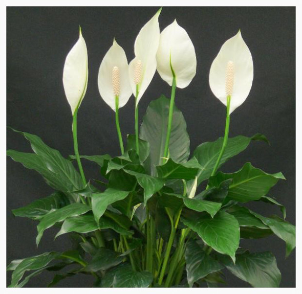 Dwarf peace lilies are at louisiana nursery louisiana for Peace lily in bathroom