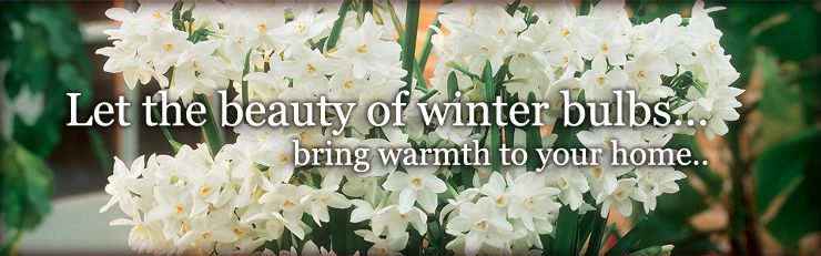 Let the beauty of winter bulbs bring warmth to your home