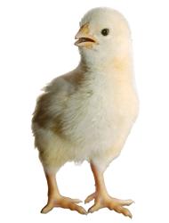 Chickens 2015