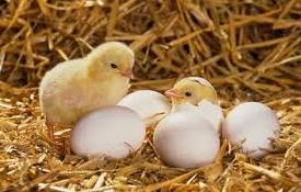 Buy 1 Get 1 Free Chicks