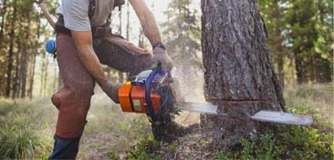 Man cutting down tree with a Chainsaw