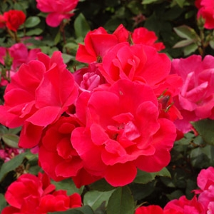 $5 Off Knockout Roses- 2Gal Or 5Gal Pot