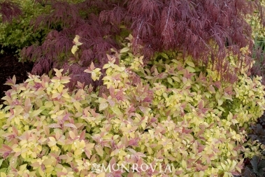 Magic Carpet Spirea 50% OFF