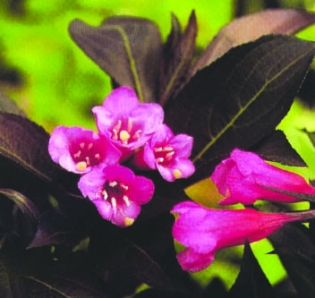 Wine & Roses Weigela 50% OFF