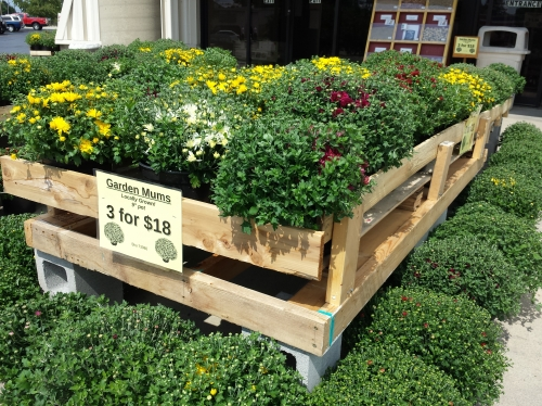 Hearty Fall Mums For Sale