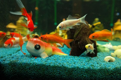 Franklin Aquarium Best Freshwater Aquarium Fishes For