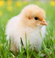 2016 Poultry Order Form