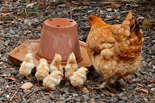 Let's Talk Chicks!