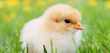 Chick Order Form