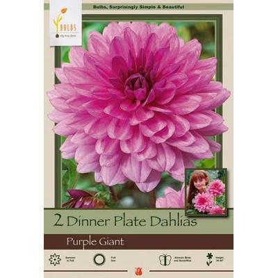 'Purple Giant' Dinner Plate Dahlia Bulb