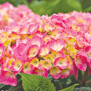 Save on Hydrangeas!