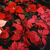 Bling Your Poinsettia*
