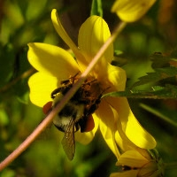 Mason Bees for Pollination