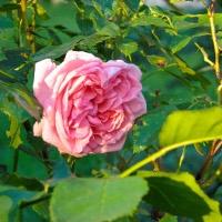 Rose Special!