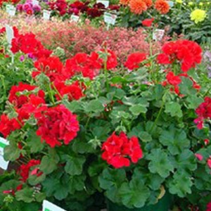 Full Flat of Geraniums only $45.99